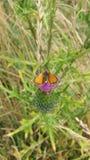 Μια πορτοκαλιά πεταλούδα στοκ φωτογραφία με δικαίωμα ελεύθερης χρήσης