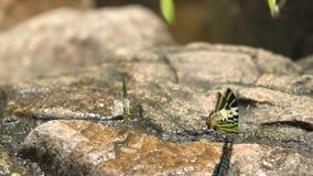 Μια πορτοκαλιά πεταλούδα ξεραίνει τα φτερά της πριν από να τραπεί σε φυγή από έναν βράχο κατά μέρος ένα ρεύμα φιλμ μικρού μήκους