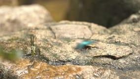 Μια πορτοκαλιά πεταλούδα ξεραίνει τα φτερά της πριν από να τραπεί σε φυγή από έναν βράχο κατά μέρος ένα ρεύμα Πυροβοληθείς σε σε  απόθεμα βίντεο