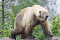 Πολική αρκούδα στοκ εικόνα