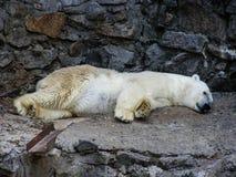 Μια πολική αρκούδα που στηρίζεται Στοκ Φωτογραφίες