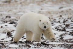 Μια πολική αρκούδα tundra χιόνι Καναδάς στοκ φωτογραφία με δικαίωμα ελεύθερης χρήσης