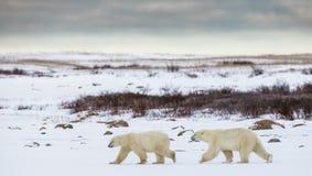 Μια πολική αρκούδα tundra χιόνι Καναδάς στοκ εικόνες