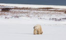 Μια πολική αρκούδα tundra χιόνι Καναδάς στοκ φωτογραφίες με δικαίωμα ελεύθερης χρήσης