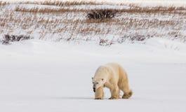 Μια πολική αρκούδα tundra χιόνι Καναδάς στοκ εικόνες με δικαίωμα ελεύθερης χρήσης