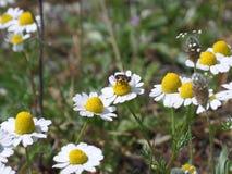 Μια πολυάσχολη μέλισσα που έχει το γεύμα στο άσπρο λουλούδι Στοκ Φωτογραφία