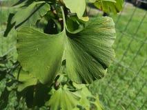 Μια πράσινη άδεια biloba Ginkgo στοκ φωτογραφία με δικαίωμα ελεύθερης χρήσης