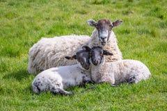 Μια προβατίνα και τα μωρά της στοκ φωτογραφία με δικαίωμα ελεύθερης χρήσης