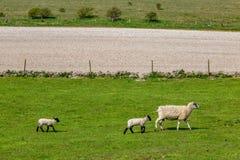 Μια προβατίνα και τα μωρά της στοκ εικόνες με δικαίωμα ελεύθερης χρήσης