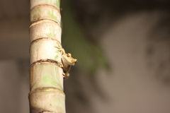 Μια προσοχή βατράχων δέντρων στοκ φωτογραφία