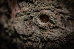 Μια πτώση της ρητίνης στο φλοιό ενός δέντρου Στοκ Φωτογραφία