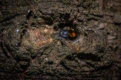 Μια πτώση της ρητίνης στο φλοιό ενός δέντρου Στοκ εικόνα με δικαίωμα ελεύθερης χρήσης