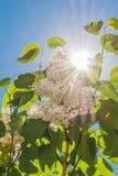 Μια πυράκτωση των άσπρων ιωδών λουλουδιών σε έναν κλάδο με τα πράσινα φύλλα ενάντια σε έναν μπλε ουρανό με έναν ήλιο Στοκ Φωτογραφία
