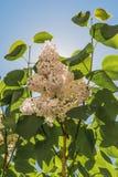 Μια πυράκτωση των άσπρων ιωδών λουλουδιών σε έναν κλάδο με τα πράσινα φύλλα ενάντια σε έναν μπλε ουρανό με έναν ήλιο Στοκ φωτογραφία με δικαίωμα ελεύθερης χρήσης