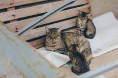 Μια ριγωτή γάτα μητέρων με τα γατάκια της στην οδό στοκ εικόνα