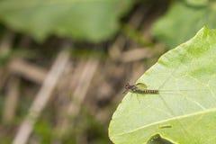 Μια ριγωτή μύγα με τρεις ουρές κάθεται σε ένα πράσινο φύλλο Στοκ Εικόνες