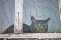Μια ριγωτή, τιγρέ συνεδρίαση γατών πίσω από ένα παράθυρο με το παλαιό άσπρο ξύλινο πλαίσιο με το χρώμα αποφλοίωσης στοκ φωτογραφίες
