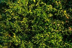 Μια σειρά των τακτοποιημένων κιβωτίων πυξαριού στον κήπο στοκ φωτογραφία