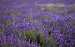 Μια σειρά lavenders 2 Στοκ φωτογραφίες με δικαίωμα ελεύθερης χρήσης