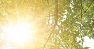 Μια σημύδα φεύγει ενάντια στον ήλιο Πράσινη επίδραση βαθμολόγησης φύλλων εκλεκτής ποιότητας απόθεμα βίντεο