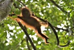 Μια σκιαγραφία orangutan μωρών σε πράσινη κορώνα των δέντρων Στοκ Εικόνα