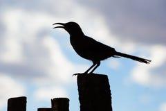 Μια σκιαγραφημένη εικόνα ενός νέου κυρτού τιμολογημένου πουλιού thrasher στοκ εικόνες