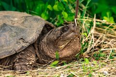 Μια σπάζοντας απότομα χελώνα που στηρίζεται στη χλόη στοκ εικόνα