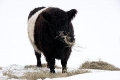 Ζωσμένη Galloway αγελάδα με το σανό το χειμώνα Στοκ Φωτογραφία