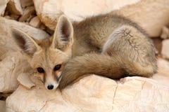 Μια στήριξη αλεπούδων Fennec Στοκ εικόνες με δικαίωμα ελεύθερης χρήσης