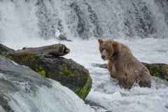 Μια σταχτιά αρκούδα πιάνει τα salmons στις πτώσεις ρυακιών Στοκ Εικόνα
