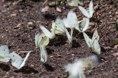 Μια στενή άποψη μιας ομάδας άσπρων, πετώντας πεταλούδων στο grou στοκ εικόνα