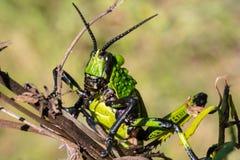 Μια στενή άποψη μιας πράσινης ακρίδας Milkweed στοκ φωτογραφίες