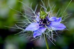 Μια στενή επάνω άποψη ενός μπλε damascena Nigella, επίσης γνωστή ως αγάπη σε ένα λουλούδι υδρονέφωσης στοκ φωτογραφία
