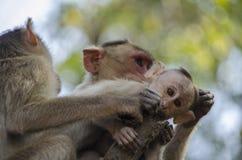 Μια στενή επάνω εικόνα ενός μωρού πιθήκων Macaque καπό με τη μητέρα του που καλλωπίζει το Στοκ Φωτογραφίες