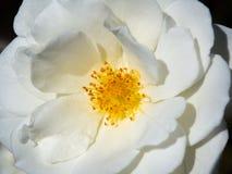 """Μια στενή επάνω όμορφη Rosa """"άσπρος ψεκασμός """"αυξήθηκε τέλεια διαμορφωμένες ανθίσεις σε μια εποχή άνοιξης σε έναν βοτανικό κήπο στοκ φωτογραφίες"""