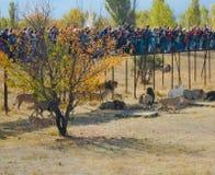 Μια στιγμή της σίτισης των λιονταριών στο πάρκο Taigan στοκ φωτογραφίες με δικαίωμα ελεύθερης χρήσης