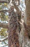 Μια στριμμένη πλεξούδα των εναέριων ριζών ενός μεγάλου δέντρου Ficus Στοκ Εικόνες