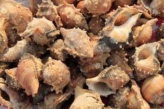 Μια συλλογή των θαλασσινών κοχυλιών. Στοκ φωτογραφίες με δικαίωμα ελεύθερης χρήσης