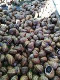 Μια συλλογή των σαλιγκαριών - αναπαραγωγή σαλιγκαριών στοκ εικόνα με δικαίωμα ελεύθερης χρήσης