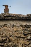 Μια συνεδρίαση πουλιών hoopoe πάνω από ένα σπίτι πετρών στοκ εικόνα