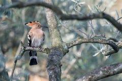 Μια συνεδρίαση πουλιών hoopoe σε μια ελιά στοκ εικόνες με δικαίωμα ελεύθερης χρήσης