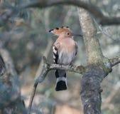 Μια συνεδρίαση πουλιών hoopoe σε μια ελιά στοκ εικόνα με δικαίωμα ελεύθερης χρήσης