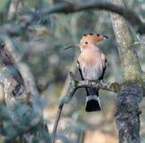 Μια συνεδρίαση πουλιών hoopoe σε μια ελιά στοκ φωτογραφία με δικαίωμα ελεύθερης χρήσης
