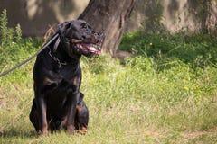 Μια συνεδρίαση σκυλιών rottweiler με ένα ρύγχος και ένα λουρί Στοκ Εικόνες