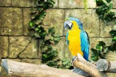 Μια συνεδρίαση ararauna ara μπλε-και-κίτρινου macaw σε έναν κλάδο, FO Στοκ Εικόνες