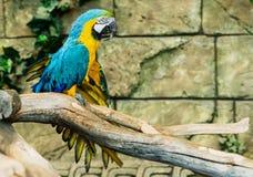 Μια συνεδρίαση ararauna ara μπλε-και-κίτρινου macaw σε έναν κλάδο, FO Στοκ φωτογραφίες με δικαίωμα ελεύθερης χρήσης