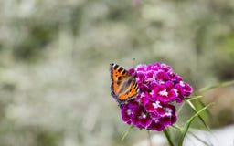 Μια συνεδρίαση πεταλούδων σε μια άνθιση Στοκ Εικόνα