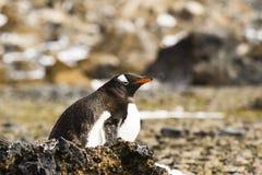 Μια συνεδρίαση Gentoo Penguin στο αυγό του Στοκ εικόνες με δικαίωμα ελεύθερης χρήσης