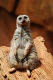 Μια συνεδρίαση meerkat και τοποθέτηση για μια εικόνα στο ζωολογικό κήπο πάρκων του Λίνκολν Στοκ Εικόνες