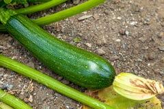 Μια σύνθεση των πράσινων zucchinies Στοκ φωτογραφία με δικαίωμα ελεύθερης χρήσης